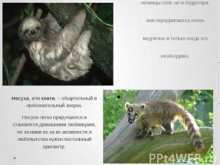 Ленивцы питаются почти исключительно древесными листьями. 15 часов в сутки ленив