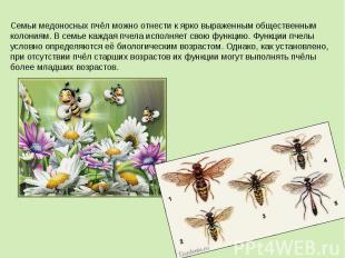 Семьи медоносных пчёл можно отнести к ярко выраженным общественным колониям. В с
