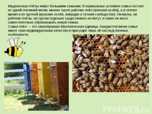 Медоносные пчёлы живут большими семьями. В нормальных условиях семья состоит из