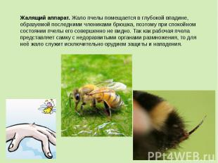 Жалящий аппарат.Жало пчелы помещается в глубокой впадине, образуемой последними