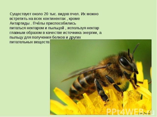 Существует около 20 тыс. видов пчел. Их можно встретить на всех континентах , кроме Антартиды . Пчёлы приспособились питатьсянектаром ипыльцой , используя нектар главным образом в качестве источника энергии, а пыльцу для получениябелков и других …