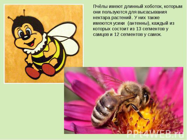 Пчёлы имеют длинныйхоботок, которым они пользуются для высасывания нектара растений. У них также имеютсяусики (антенны), каждый из которых состоит из 13 сегментов у самцов и 12 сегментов у самок.