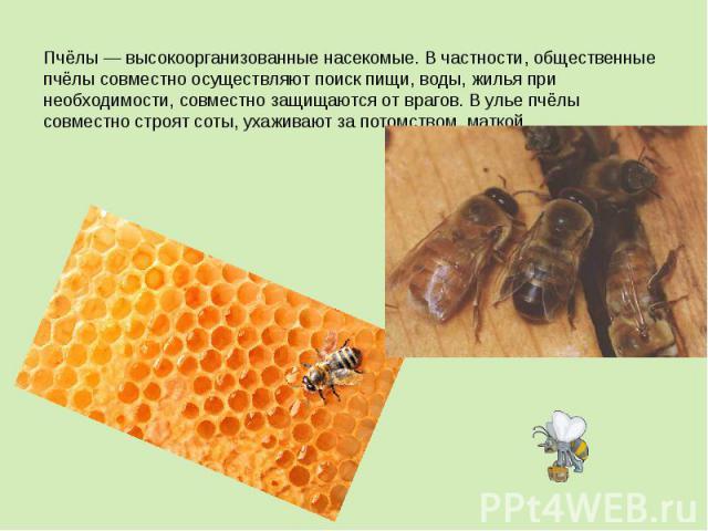 Пчёлы— высокоорганизованные насекомые. В частности, общественные пчёлы совместно осуществляют поиск пищи,воды, жилья при необходимости, совместно защищаются от врагов. В улье пчёлы совместно строят соты, ухаживают за потомством, маткой.