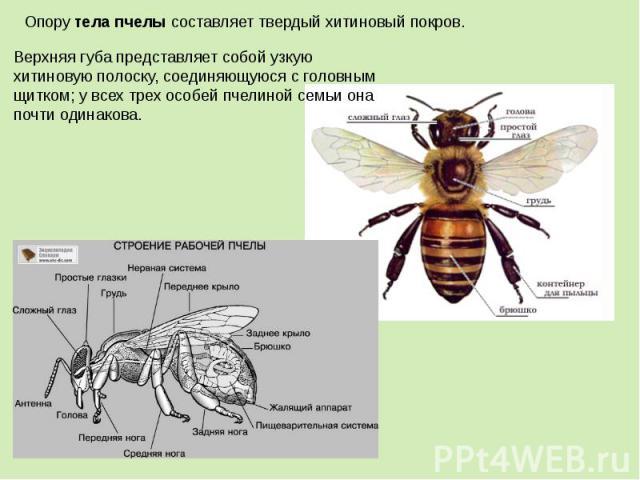 Верхняя губа представляет собой узкую хитиновую полоску, соединяющуюся с головным щитком; у всех трех особей пчелиной семьи она почти одинакова.