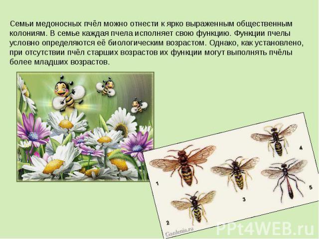 Семьи медоносных пчёл можно отнести к ярко выраженным общественным колониям. В семье каждая пчела исполняет свою функцию. Функции пчелы условно определяются её биологическим возрастом. Однако, как установлено, при отсутствии пчёл старших возрастов и…