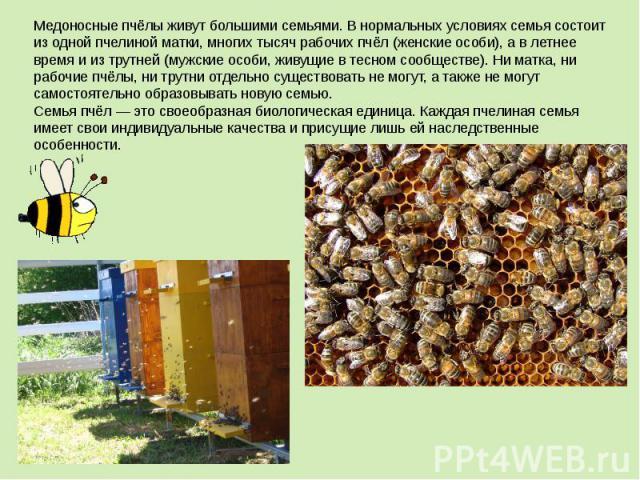 Медоносные пчёлы живут большими семьями. В нормальных условиях семья состоит из одной пчелиной матки, многих тысяч рабочих пчёл (женские особи), а в летнее время и из трутней (мужские особи, живущие в тесном сообществе). Ни матка, ни рабочие пчёлы, …