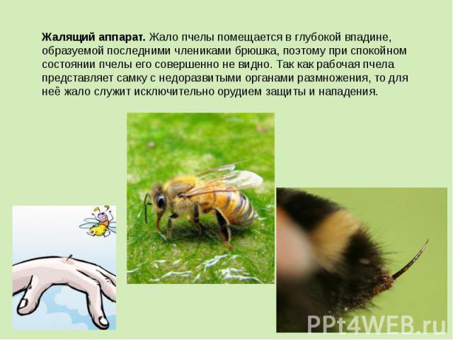 Жалящий аппарат.Жало пчелы помещается в глубокой впадине, образуемой последними члениками брюшка, поэтому при спокойном состоянии пчелы его совершенно не видно. Так как рабочая пчела представляет самку с недоразвитыми органами размножения, то для н…