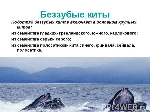 Подотряд беззубых китов включает в основном крупных китов: Подотряд беззубых китов включает в основном крупных китов: из семейства гладких- гренландского, южного, карликового; из семейства серых- серого; из семейства полосатиков- кита синего, финвал…