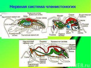 Нервная система членистоногих Нервная система членистоногих