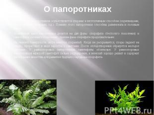 О папоротниках Размножение папоротников осуществляется спорами и вегетативным сп