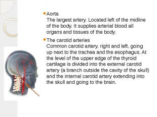 Aorta The largest artery. Located left of the midline of the body. It supplies a