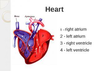 Heart 1 – right atrium 2 - left atrium 3 - right ventricle 4 - left ventricle