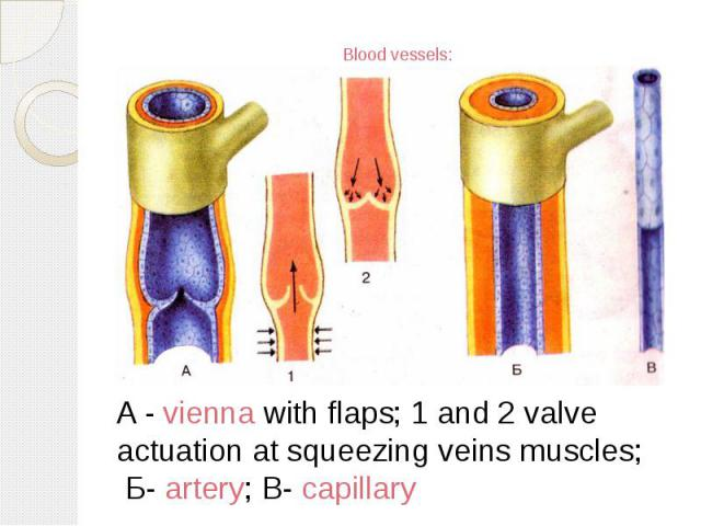 Blood vessels: A - vienna with flaps; 1 and 2 valve actuation at squeezing veins muscles; Б- artery; В- capillary