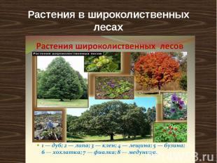 Растения в широколиственных лесах