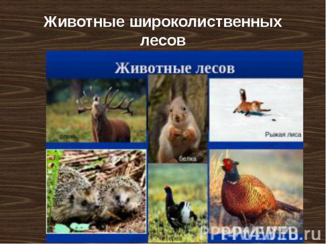 Животные широколиственных лесов