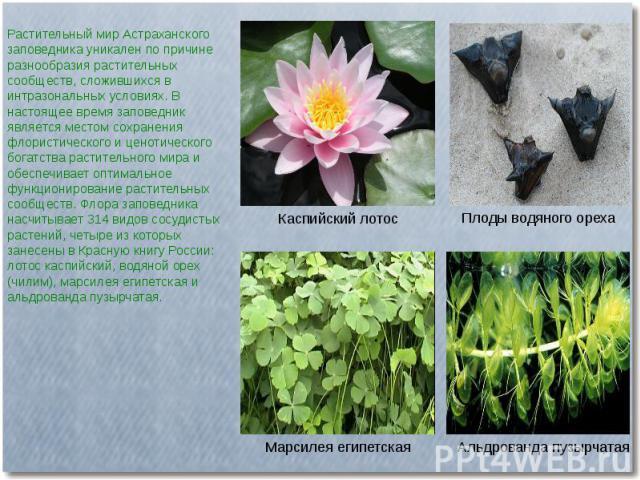 Растительный мир Астраханского заповедника уникален по причине разнообразия растительных сообществ, сложившихся в интразональных условиях. В настоящее время заповедник является местом сохранения флористического и ценотического богатства растительног…