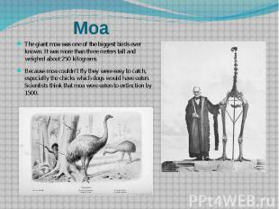 The giant moa was one of the biggest birds ever known. It was more than three me