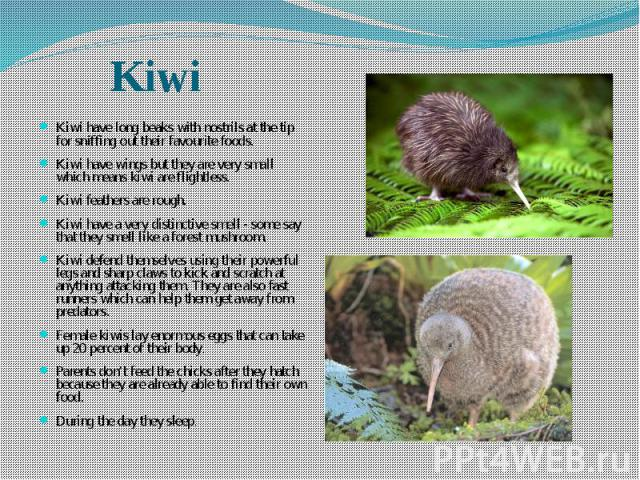 Kiwi have long beaks with nostrils at the tip for sniffing out their favourite foods. Kiwi have long beaks with nostrils at the tip for sniffing out their favourite foods. Kiwi have wings but they are very small which means kiwi are flightless. Kiwi…