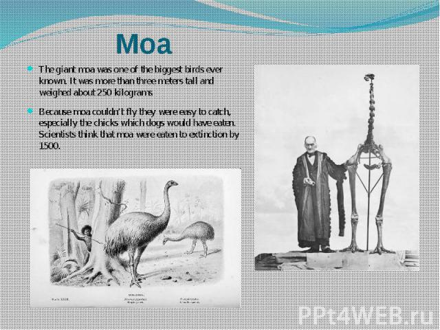 The giant moa was one of the biggest birds ever known. It was more than three meters tall and weighed about 250 kilograms. The giant moa was one of the biggest birds ever known. It was more than three meters tall and weighed about 250 kilograms. Bec…