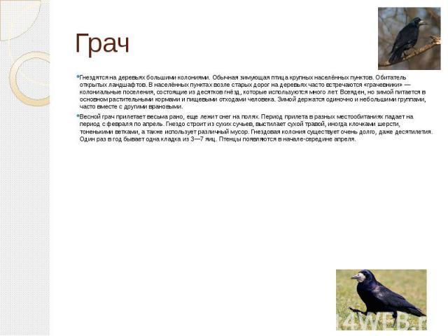 Грач Гнездятся на деревьях большими колониями. Обычная зимующая птица крупных населённых пунктов. Обитатель открытых ландшафтов. В населённых пунктах возле старых дорог на деревьях часто встречаются «грачевники»— колониальные поселения, состоя…