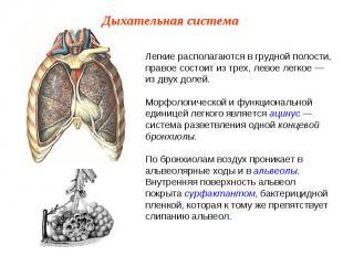 Легкие располагаются в грудной полости, правое состоит из трех, левое легкое — и