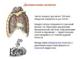 Число альвеол достигает 700 млн., общая их поверхность до 120 м2.Каждое легкое п