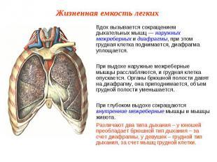 Вдох вызывается сокращением дыхательных мышц — наружных межреберных и диафрагмы,