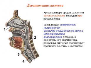 Хрящевая перегородка разделяет носовые полости, в каждой три носовых хода. Здесь