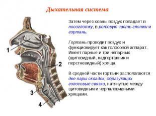 Затем через хоаны воздух попадает в носоглотку, в ротовую часть глотки и гортань