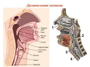 Дыхательная система