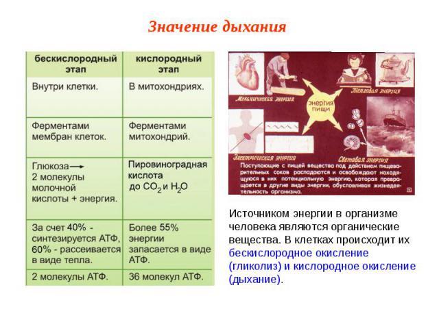 Источником энергии в организме человека являются органические вещества. В клетках происходит их бескислородное окисление (гликолиз) и кислородное окисление (дыхание).