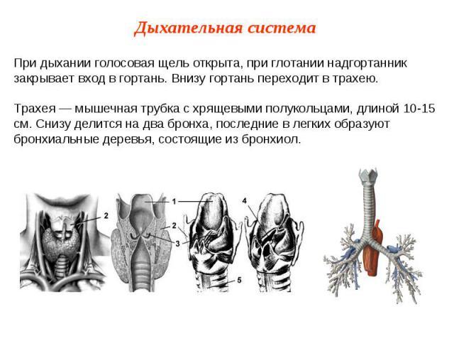 При дыхании голосовая щель открыта, при глотании надгортанник закрывает вход в гортань. Внизу гортань переходит в трахею.Трахея — мышечная трубка с хрящевыми полукольцами, длиной 10-15 см. Снизу делится на два бронха, последние в легких образуют бро…