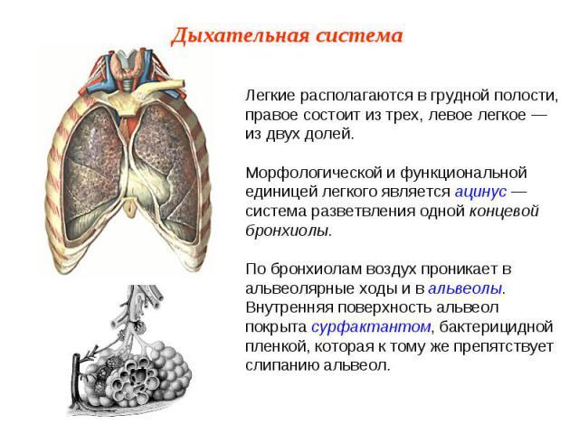 Легкие располагаются в грудной полости, правое состоит из трех, левое легкое — из двух долей. Морфологической и функциональной единицей легкого является ацинус — система разветвления одной концевой бронхиолы.По бронхиолам воздух проникает в альвеоля…