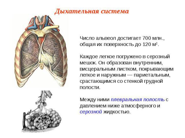 Число альвеол достигает 700 млн., общая их поверхность до 120 м2.Каждое легкое погружено в серозный мешок. Он образован внутренним, висцеральным листком, покрывающим легкое и наружным — париетальным, срастающимся со стенкой грудной полости.Между ним…