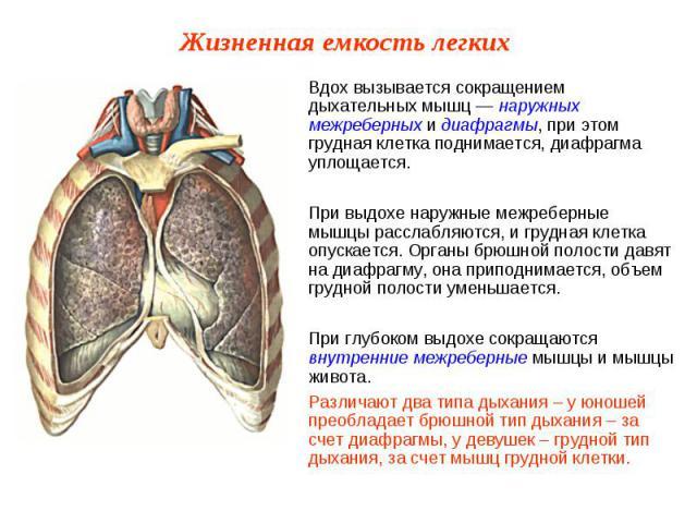 Вдох вызывается сокращением дыхательных мышц — наружных межреберных и диафрагмы, при этом грудная клетка поднимается, диафрагма уплощается.При выдохе наружные межреберные мышцы расслабляются, и грудная клетка опускается. Органы брюшной полости давят…
