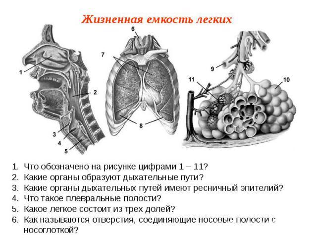 Что обозначено на рисунке цифрами 1 – 11?Какие органы образуют дыхательные пути?Какие органы дыхательных путей имеют ресничный эпителий?Что такое плевральные полости?Какое легкое состоит из трех долей?Как называются отверстия, соединяющие носовые по…
