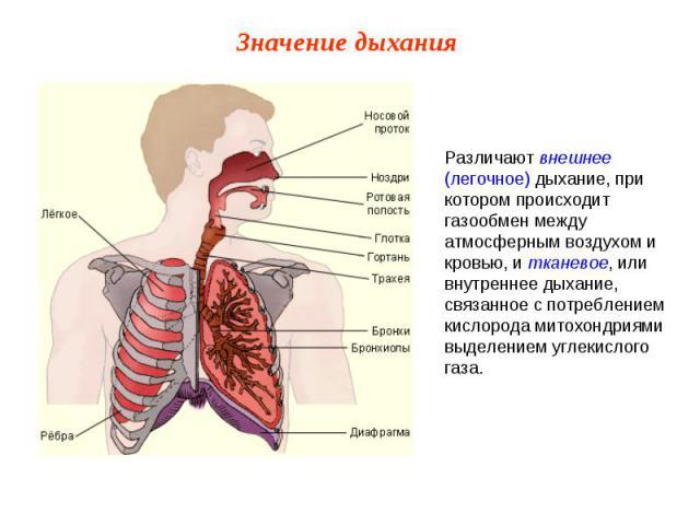 Различают внешнее (легочное) дыхание, при котором происходит газообмен между атмосферным воздухом и кровью, и тканевое, или внутреннее дыхание, связанное с потреблением кислорода митохондриями выделением углекислого газа.
