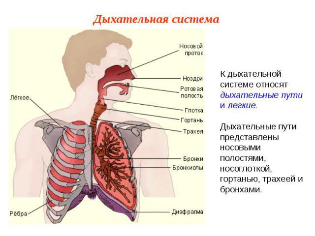 К дыхательной системе относят дыхательные пути и легкие.Дыхательные пути представлены носовыми полостями, носоглоткой, гортанью, трахеей и бронхами.