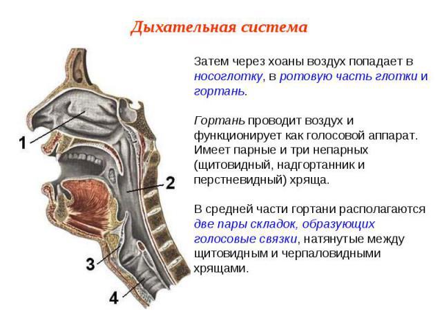 Затем через хоаны воздух попадает в носоглотку, в ротовую часть глотки и гортань.Гортань проводит воздух и функционирует как голосовой аппарат. Имеет парные и три непарных (щитовидный, надгортанник и перстневидный) хряща.В средней части гортани расп…