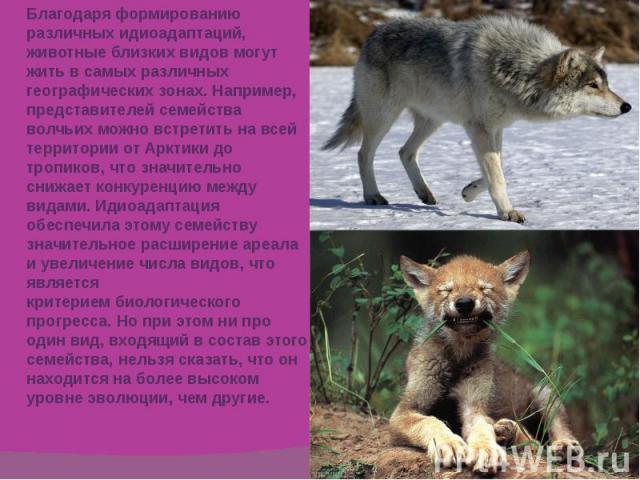 Благодаря формированию различных идиоадаптаций, животные близких видов могут жить в самых различных географических зонах. Например, представителей семейства волчьих можно встретить на всей территории отАрктикидо тропиков, что значительно снижает к…