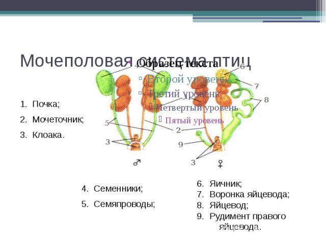 Мочеполовая система птиц
