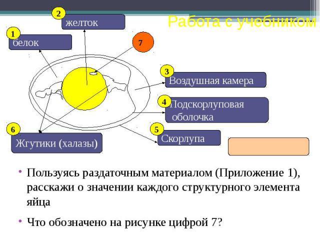 Пользуясь раздаточным материалом (Приложение 1), расскажи о значении каждого структурного элемента яйца Что обозначено на рисунке цифрой 7?