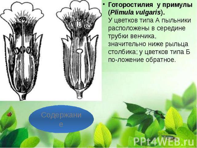 Готоростилия у примулы (Plimula vulgaris). У цветков типа А пыльники расположены в середине трубки венчика, значительно ниже рыльца столбика; у цветков типа Б положение обратное. Готоростилия у примулы (Plimula vulgaris). У цветков …
