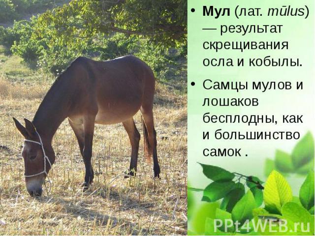 Мул (лат.mūlus) — результат скрещивания осла и кобылы. Мул (лат.mūlus) — результат скрещивания осла и кобылы. Самцы мулов и лошаков бесплодны, как и большинство самок .