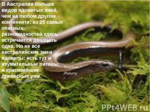 В Австралии больше видов ядовитых змей, чем на любом другом континенте: из 25 са