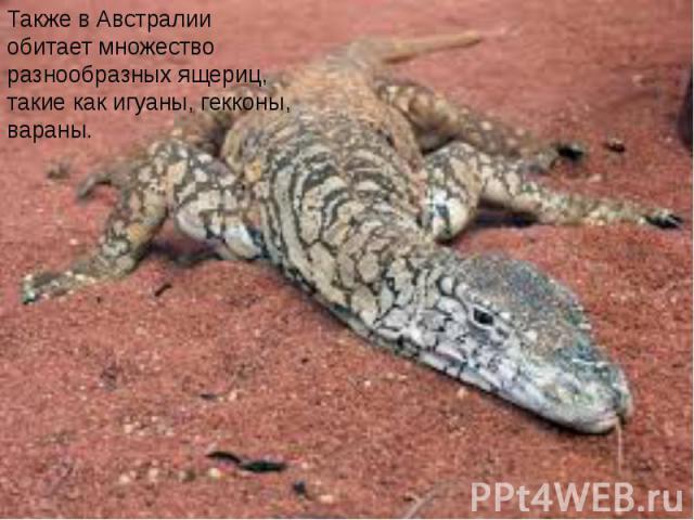 Также в Австралии обитает множество разнообразных ящериц, такие как игуаны, гекконы, вараны.