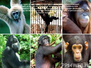 Приматы — один из наиболее прогрессивных отрядов млекопитающих, включающий, в то