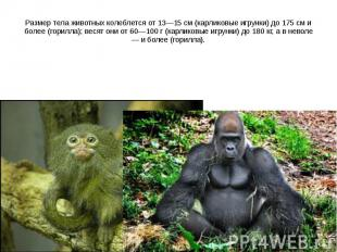 Размер тела животных колеблется от 13—15 см (карликовые игрунки) до 175 см и бол