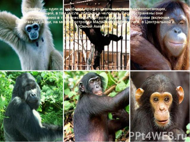 Приматы — один из наиболее прогрессивных отрядов млекопитающих, включающий, в том числе, обезьян и человека. Распространены они преимущественно в тропических и субтропических лесах Африки (включая Мадагаскар), Азии, на многих островах Малайского арх…