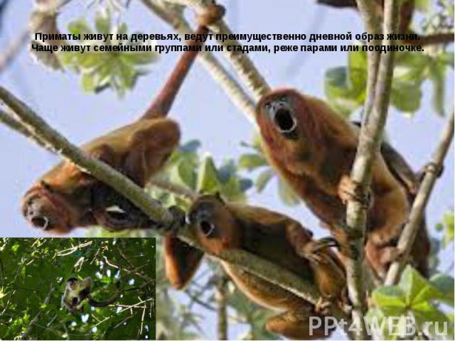Приматы живут на деревьях, ведут преимущественно дневной образ жизни. Чаще живут семейными группами или стадами, реже парами или поодиночке.